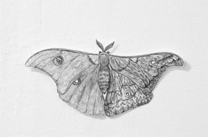 Thorjussen_Hermaphrodite Moth